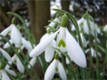 Galanthus 'Atkinsii' Snowdrop