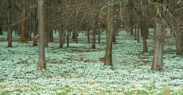 woodland snowdrop scene