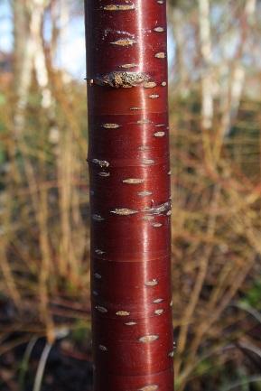 Image of Salix stems at Mottisfont Abbey